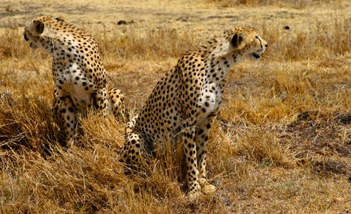 ghepardi.jpg